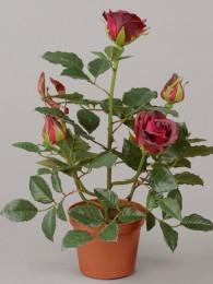Роза Леди в кашпо бордовая