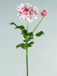 Далия розово-кремовая 85см