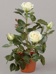 Роза Леди в кашпо кремовая