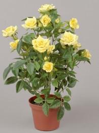 Роза в кашпо желтая