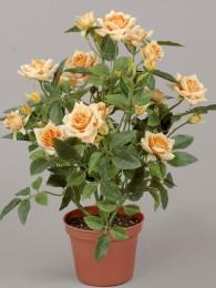 Роза в кашпо персиковая