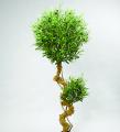 Оливковое дерево 180 см