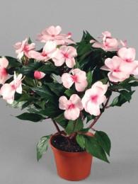 Бальзамин розовый в кашпо
