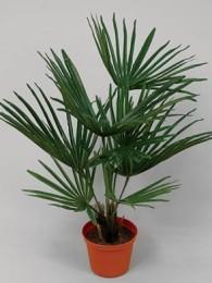 Пальма 58 см