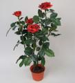 Роза кустовая бордовая 60 см