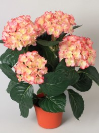 Гортензия кремово-розовая в кашпо