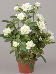 Роза в кашпо кремовая