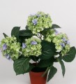 Гидрангея салатно-голубая в кашпо