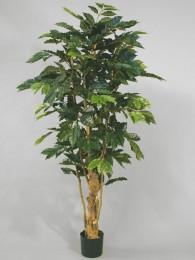 Кофейное дерево 170 см
