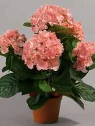 Гидрангея в кашпо розовая