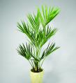 Кентия пальма