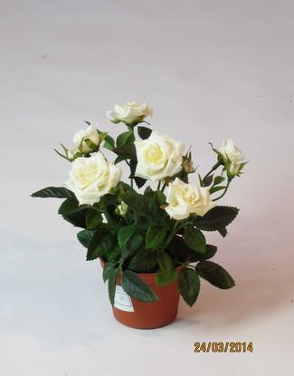 Роза в кашпо кремовая 16 см