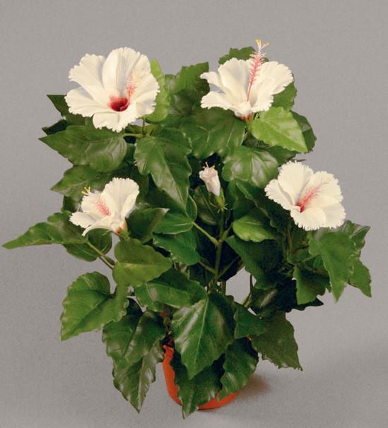 Хибиcкус белый 42 см